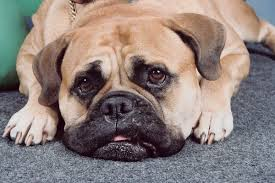 Why Do Dogs Lick The Sofa Why Do Dogs Scratch Indoor Carpeting Pets
