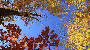autumn leaves 8 timelapse looking up through yellow and