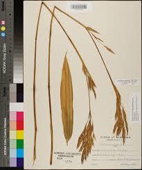 plants native to alabama arundinaria tecta species page apa alabama plant atlas
