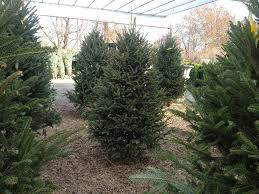 home depot fraser fir christmas tree black friday here u0027s what we u0027re proud of u2014 cedar grove christmas trees