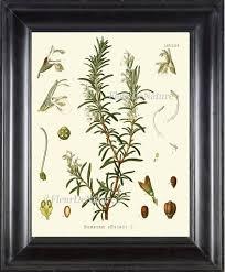 herb chart rosemary botanical art print kohler herb 8x10 art 15 beautiful