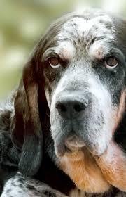 bluetick coonhound mix puppies bluetick coonhound dog breed information pictures