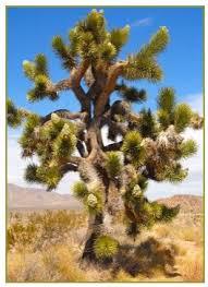 planting tips for joshua trees arizona cactus sales