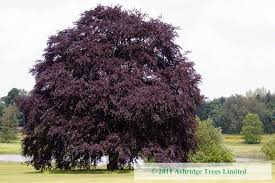 buy copper beech trees purple beech for sale large standards