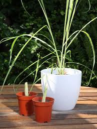 how to grow lemon grass hgtv