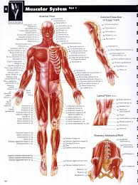 muskular system drawing tutorials bones u0026 muscles human