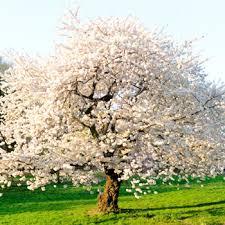 images of flowering trees flowering trees tree growing birds