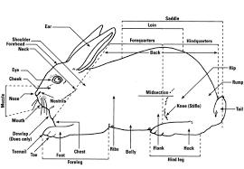 rabbit library library anatomy rabbitpedia