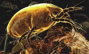 acari materasso rimedi gli acari della polvere nemici invisibiliblog di sandokan