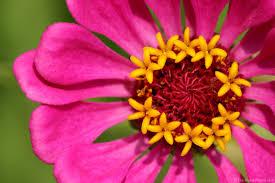 Zinnia Flower Pink Zinnia Flower Picture