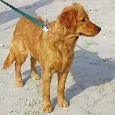 Comfort Golden Retriever Breeders Cookie The Golden Retriever Dogs Daily Puppy