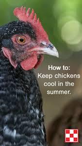 116 best hen care images on pinterest chicken feed chicken