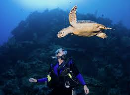 sea turtles protecting the beloved symbol of the cayman islands