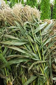 Corn Stalks Dried And Bundled For Sale As Decorations Stock