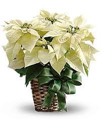 white poinsettia white poinsettia bouquet teleflora
