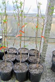 fruit trees from fedco the martha stewart blog