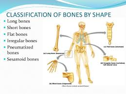 Anatomy Of The Human Body Bones Anatomy Of Bone And Cartilage 1