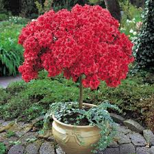 Plants For Patio by Azalea Patio Plants Flowers And Gardening Tips Pinterest