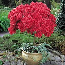 azalea patio plants flowers and gardening tips pinterest