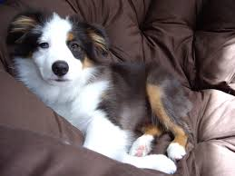 1 month old australian shepherd 32 best mini australian shepherd puppies images on pinterest