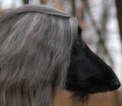 afghan hound hairstyles jolie afghan hounds halle
