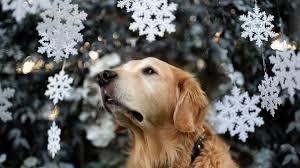 boxer dog xmas holiday dog christmas tree snow background on boxer dogs dogs