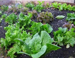 crop rotation for healthy vegetable gardens sanctuary soil
