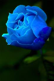 imagenes con flores azules dia de la maestra blue rose pinteres