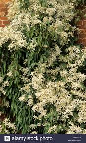 plants flowers clematis armandii white star shaped symmetrical