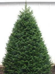 klm tree farm tree varieties