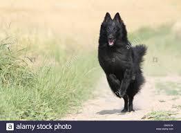 belgian sheepdog groenendael dog belgian shepherd groenendael running in a path stock