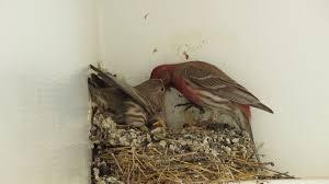 house finch feeding baby birds youtube