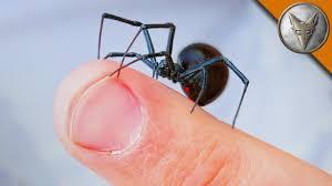Misunderstood Spider Meme 16 Pics - will it bite black widow challenge youtube