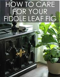 Fiddle Leaf Fig Tree Care by How To Care For Your Fiddle Leaf Fig Tree 4 Ways Fiddle Leaf