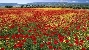 Poppy Flower Garden by Poppy Tag Wallpapers Poppy Garden Pink Nature Flower Wallpaper