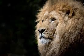 free images wildlife zoo africa feline mane fauna wild