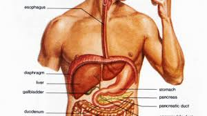 human body inner system so many systems human body systems rap