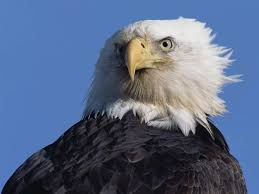 strange eagle wallpapers 33 best wallpaper free download images on pinterest