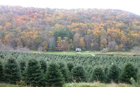 high country fraser fir trees wholesale trees