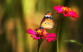 butterfly with flowers wallpapers al105b alhuda wallpaper