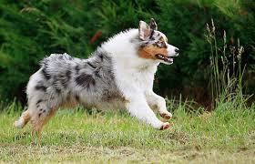 d b australian shepherds australian shepherd running on grass kimballstock