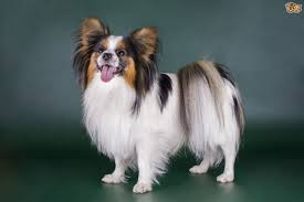 long hair chihuahua hair growth what to expect canine coat growth and shedding explained pets4homes