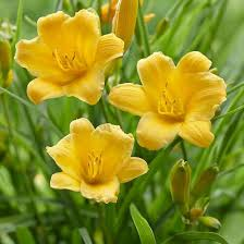 stella daylily daylily stella easy to grow bulbs