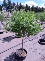 edible fruit trees apple tree for sale calgary honeycrisp apple
