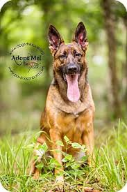 belgian malinois rescue florida jax adopted dog ormond beach fl german shepherd dog belgian