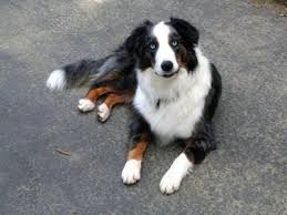 australian shepherd or border collie pure bred or half border collie