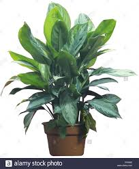 aglaonema chinese evergreen amelia aglaonema commutatum stock photo royalty