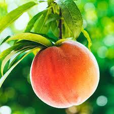 top 7 homegrown fruit trees sunset magazine