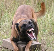 belgian malinois photos belgian malinois military police dogs animals pinterest