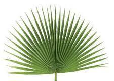palm fronds for palm sunday palm leaves for palm sunday fresh palm leaves